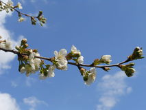 Branch of the blossoming cherry. Royalty Free Stock Photo