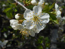 Branch of the blossoming cherry. Stock Photography