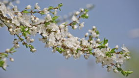 Branch of the blossoming cherry stock footage