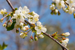 Branch of the blossoming cherry Royalty Free Stock Photos