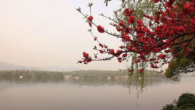 Branch of blossoming cherry stock footage