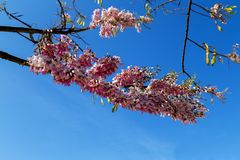 branch of blossoming cherry stock photography