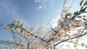 Branch of a blossoming cherry tree with beautiful pink flowers. stock video