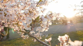 Branch of a blossoming cherry tree with beautiful white flowers. Shallow depth of field.