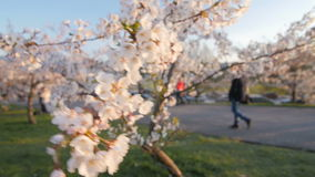 Branch of a blossoming cherry tree with beautiful white flowers. Shallow depth of field. stock video footage