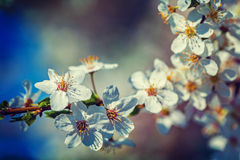 Branch of blossoming cherry tree with blurred dar Royalty Free Stock Photos
