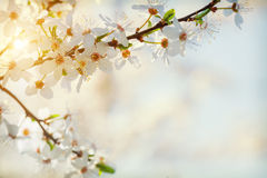 Branch Of Blossoming Cherry Tree Close Up Hipster Style Version Royalty Free Stock Images