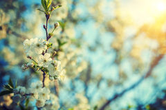 Branch of blossoming cherry tree close up hipster style version Stock Photo