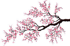 Branch of a blossoming cherry. Tree isolated on a white background Royalty Free Stock Photography