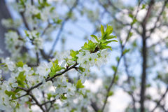 Branch of blossoming cherry tree in spring Stock Photo