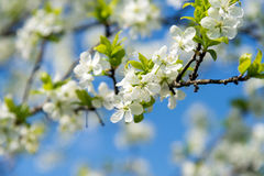 Branch of blossoming cherry tree in spring Royalty Free Stock Photos