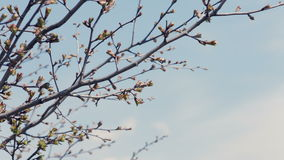 Branch of blossoming close-up. Flowering branch on stock video footage