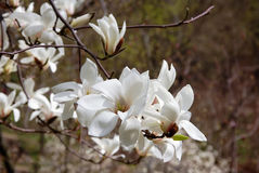 Branch with blossoming flowers of white magnolia on the blurred dark background. White flowers of the magnolia tree in early spring. Beautiful spring flower Royalty Free Stock Photography
