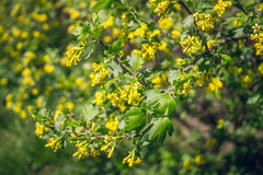Branch of a blossoming Golden currant Stock Photos