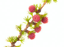 Branch of a blossoming larch Royalty Free Stock Photography