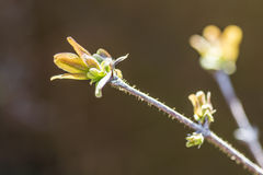 Branch with blossoming leaves blueberry bush, Royalty Free Stock Photos