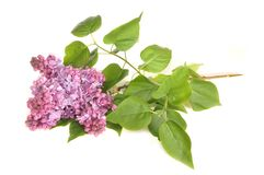 The branch of a blossoming lilac Royalty Free Stock Images