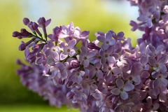 A branch of blossoming lilac. In the garden Stock Photography