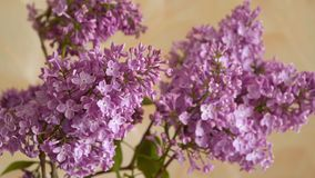 A branch of blossoming lilac. Spring flowers stock video