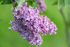 Branch of blossoming lilac Stock Image