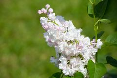 Branch of blossoming lilac Stock Photos