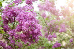 Branch of a blossoming lilac Stock Photos