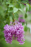 Branch of a blossoming lilac Royalty Free Stock Photos