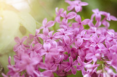 Branch of a blossoming lilac Stock Photo