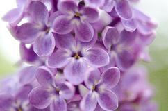 Branch of a blossoming lilac Stock Images