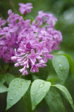 Branch of a blossoming lilac Royalty Free Stock Images