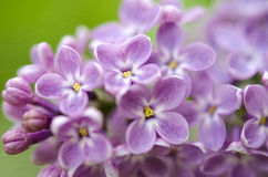 Branch of a blossoming lilac Stock Image