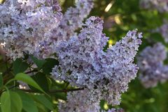 A branch of blossoming lilac. In the garden Stock Photos