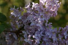 A branch of blossoming lilac. In the garden Royalty Free Stock Photo