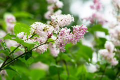 Branch of a blossoming lilac Royalty Free Stock Photo