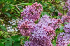 Branch of blossoming lilac pink-lilac color. Branch of blooming lilac pink-lilac color stock photos