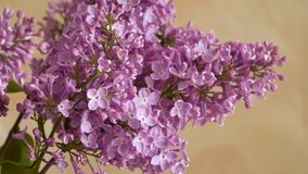 A branch of blossoming lilac. Spring flowers stock video footage