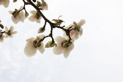 Branch of a blossoming magnolia closeup Stock Photography