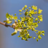 Branch of a blossoming maple Royalty Free Stock Images
