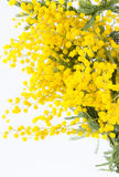 Branch of the blossoming mimosa Royalty Free Stock Images