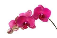 Branch of blossoming orchid burgundy color. Isolated on white background royalty free stock photos