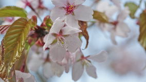 Branch of blossoming Oriental cherry sakura stock video footage