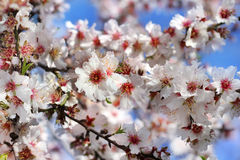 Branch of a blossoming peach Stock Images