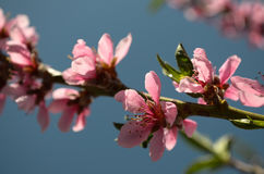 Branch of a blossoming peach royalty free stock photos
