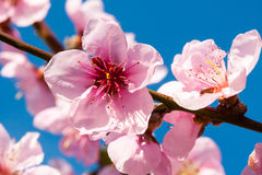Branch of a blossoming peach Stock Photos