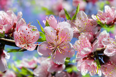 Branch of a blossoming peach tree Royalty Free Stock Image