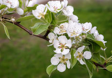 The branch of blossoming pear on a background of green garden. Royalty Free Stock Photo