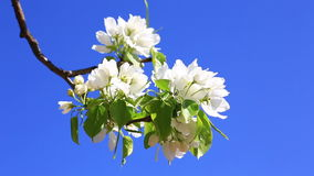 Branch of blossoming pear tree against blue sky stock video footage
