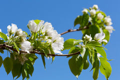 Branch of the blossoming pear tree Royalty Free Stock Photo