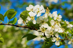 Branch of a blossoming pear tree with beautiful flowers. Stock Photos