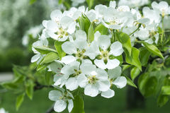 Branch of blossoming pear tree with beautiful spring  flowers Stock Images